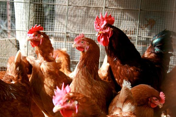chickens 6